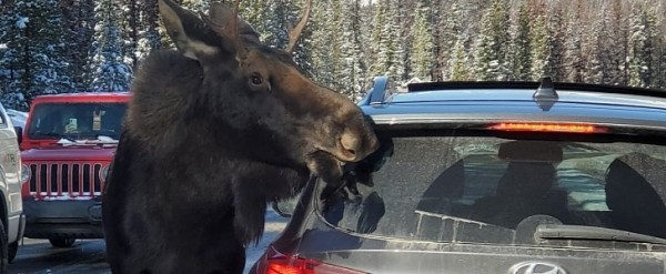 Canadians Are Urged Not to Let Moose Lick Their Cars - autoevolution