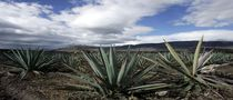 Cars Could Be Powered by Tequila Plant