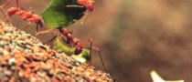 Driving Lessons from Leafcutter Ants