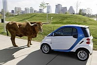 smart car2go and a... cow