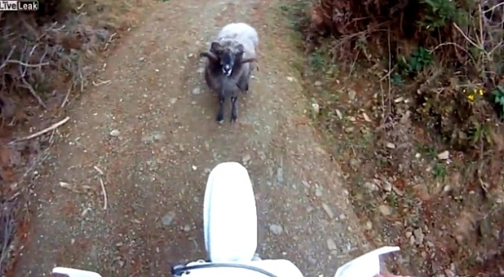 Funny Young Ram Scares Silly Biker, Forbids Passage [Video]