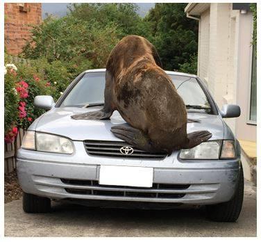Seal Visits Australian Suburb Climbs On Cars For Fun