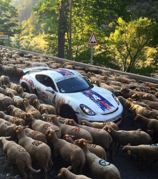 sheep traffic jam traps ferrari lamborghini porsche