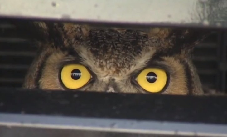 Owl Survives 138-mile Ride Trapped Inside SUV Grille [Video]