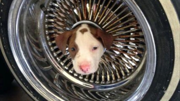 Pitbull Puppy Saved By Firefighters After It Got Stuck In