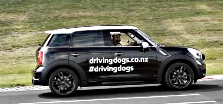 Rescued New Zealand Dog Drives a MINI [Video]