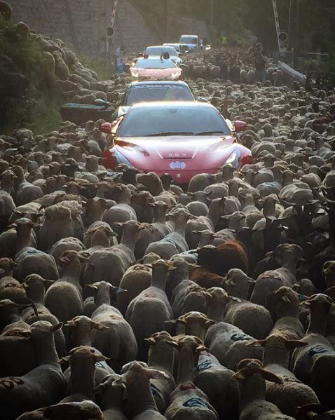 Sheep Traffic Jam Traps Ferrari Lamborghini Porsche