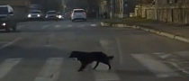 Smart Russian Dogs Use Pedestrian Crossings [Video]