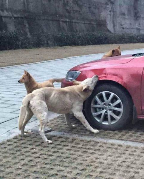 Stray Dogs Destroy a Car in China: Jetta Gets Bitten into ...