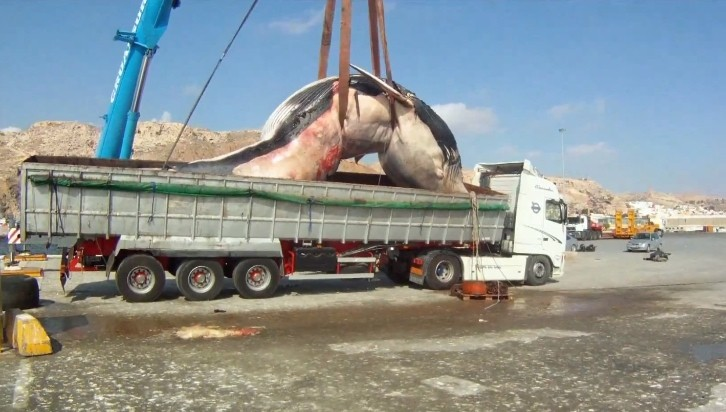 Take This Renault! Older Volvo Truck Transports 35-ton Dead Whale - autoevolution