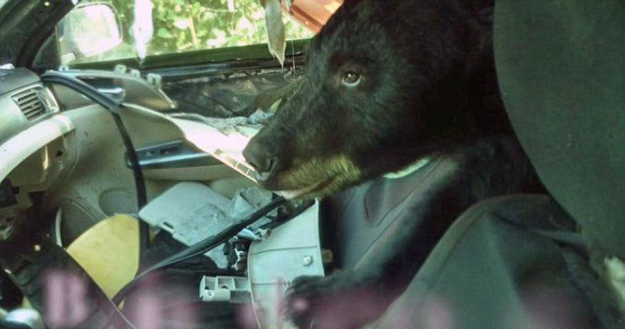 this bear destroyed subaru is proof you should always lock your car autoevolution. Black Bedroom Furniture Sets. Home Design Ideas