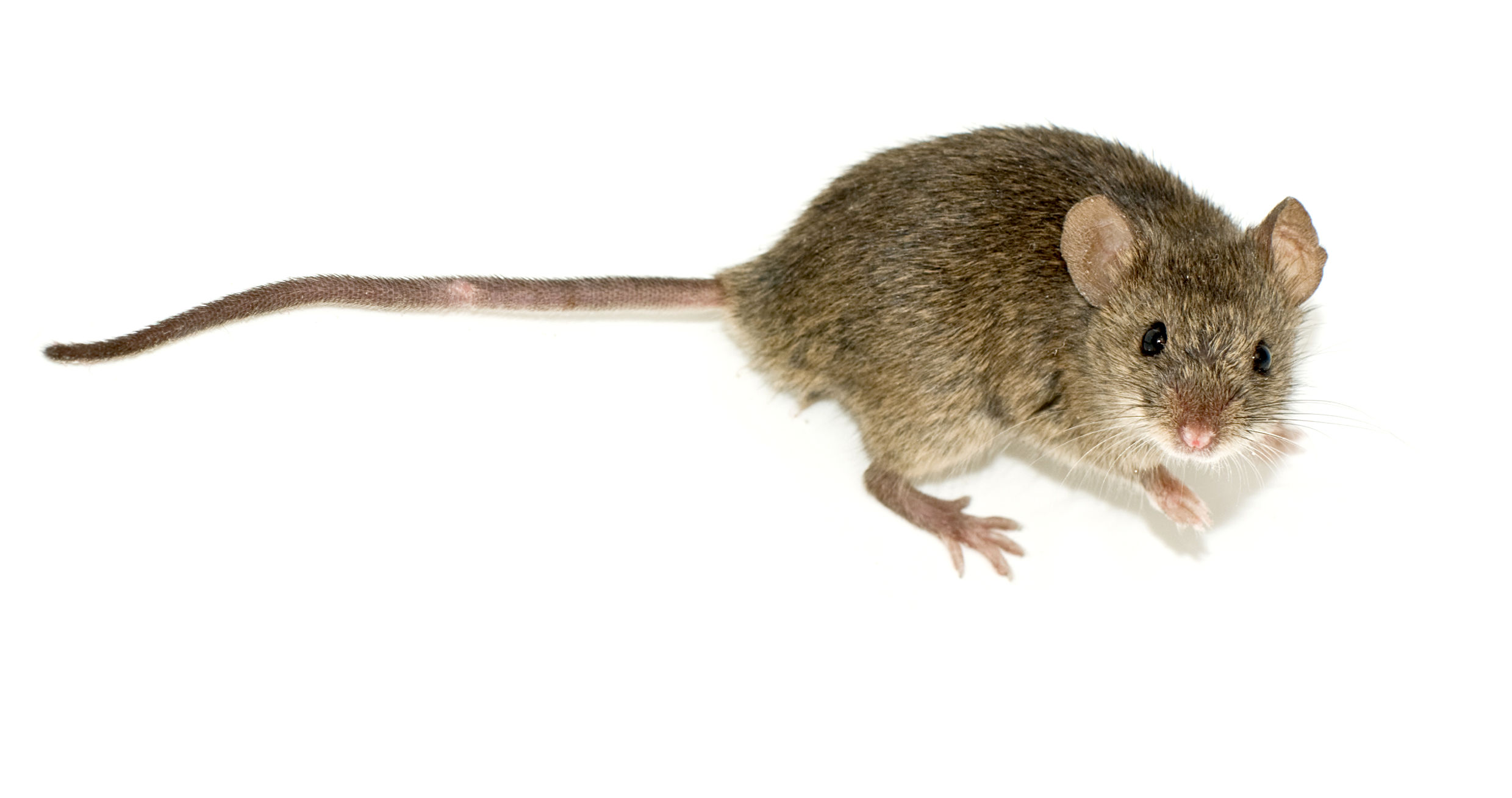 toyota s soy based electric wiring attracts rodents and also a lawsuit 113921_1 toyota's soy based electric wiring attracts rodents, and also a