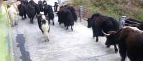 Yaks Have Zen Attitude to Getting off the Tibetan Road [Video]